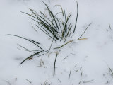 Close View of Blades of Grass Poking Through the Snow