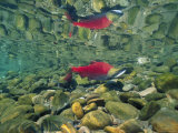 Sockeye Salmon  Also Called Red Salmon  and its Reflection