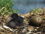 A Common Loon Chick Sits in its Waterside Nest