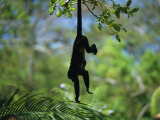 A Monkey Hangs from a Tree by His Tail