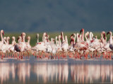 A Crowd of Lesser Flamingos Gathered on the River