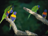 Brightly Colored Lorikeets Perch on Tree Branches