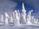 A Heavy Blanket of Snow and Fog Cover a Group of Pine Trees