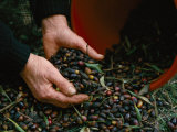 Olives are Harvested for Olive Oil Production