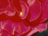 A Close View of a Rose