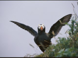 A Tufted Puffin Spreads its Wings