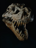 Skull of a Tyrannosaurus Rex
