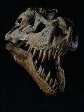 Skull of a Tyrannosaurus Rex