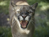 A Mountain Lion Hisses at the Camera