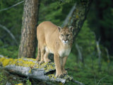 A Mountain Lion Balances on the Trunk of a Fallen Tree