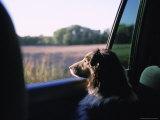 A Sheltie Looks Out the Window at a Field in Walton  Nebraska