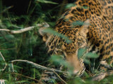 A Jaguar Moves in the Brush