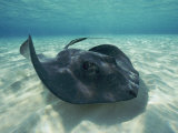 A Southern Stingray Swims Close to the Ocean Floor
