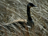 Nesting Canada Goose at Jamaica Bay Wildlife Refuge