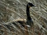 Nesting Canada Goose at Jamaica Bay Wildlife Refuge