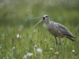 Close View of a Long-Billed Curlew Vocalizing in a Meadow