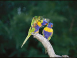 Brightly Colored Lorikeets Perch in a Tree