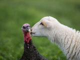 A Katahdin Lamb Gives a Bronze Turkey a Kiss on a Farm in Kansas
