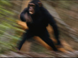 Chimpanzee Running at the Siddles Chimpanzee Orphanage