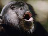 Chimpanzee Vocalizing in Gombe Stream National Park
