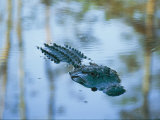 An American Alligator Floats Half-Submerged in Waters at Brookgreen Gardens Wildlife Park