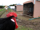 A Minorca Rooster at a Farm in Kansas