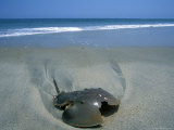 A Horseshoe Crab Washes up on the Beach Near Salvo