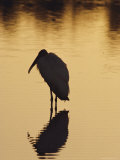 A Silhouette of a Wood Ibis in the Water at Sunset
