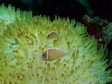 Pink Anemonefish Swim Among the Stinging Tentacles of a Magnificent Sea Anemone
