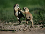 Black-Tailed Prairie Dog Pups Wrestling on a Burrow
