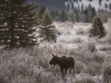 A Moose in a Frost-Covered Field  Grand Teton National Park