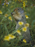 A Columbia Ground Squirrel (Spermophilus Columbianus) Feeds on Wildflowers in a N Alpine Meadow