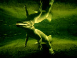 Underwater View of a Rare White Alligator