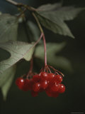 A Close View of Hawthorn Tree Berries
