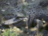 Close-up of an American Alligator Resting on the Ground