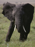 An African Elephant Eats Grass