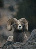 Close View of an American Bighorn Ram (Ovis Canadensis) Lying on Rock-Strewn Gr Ound