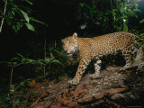 A Young Male Jaguar  Later Killed Illegally by Ranchers