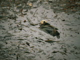 Sea Otter in a Kelp Bed