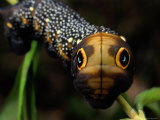 Close-up of a Moth Caterpillar(Xylophanes Falco) with False Eyes