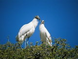 A Pair of Storks on a Treetop Nest