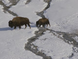 A Buffalo Cow and Her Calf Cross a Stream in Snowy Yellowstone