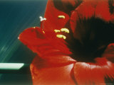 A Close-up of a Red Flower
