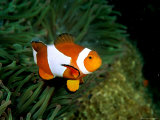 Western Clown Anemonefish Swims Among the Tentacles of a Magnificent Sea Anemone