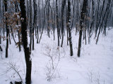 A Siberian Tiger (Panthera Tigris Altaica) in Snowy Woods
