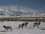 Elk or Wapiti at the National Elk Refuge Jackson  Wyoming