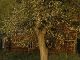 A Flowering Tree Standing Near a Barn