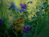 A Juvenile Attwaters Prairie-Chicken Amid Wildflowers