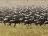 A Herd of Wildebeests Stampede Across the Serengeti Plain