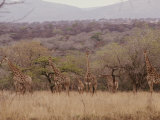 A Group of Reticulated Giraffes in the Savanna